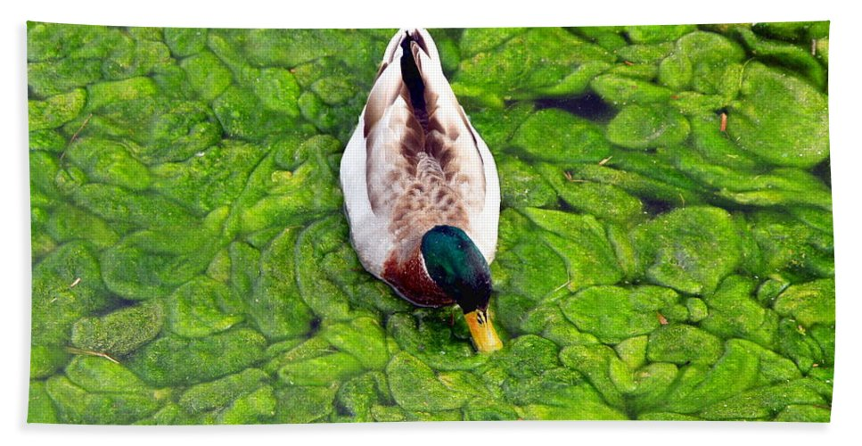 Green Canada Spring Bird Duck Loon Water Pond Environment Algae Vegetation Marine Wildlife Canadian Nature Ontario Lake Beach Towel featuring the photograph Canadian Duck by Valentino Visentini