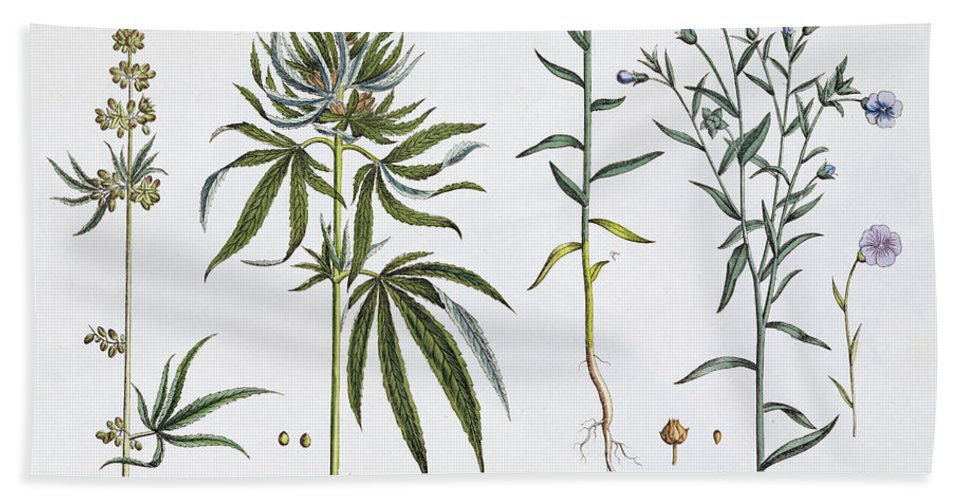 Cannabis Beach Towel featuring the painting Cannabis And Flax by Matthias Trentsensky