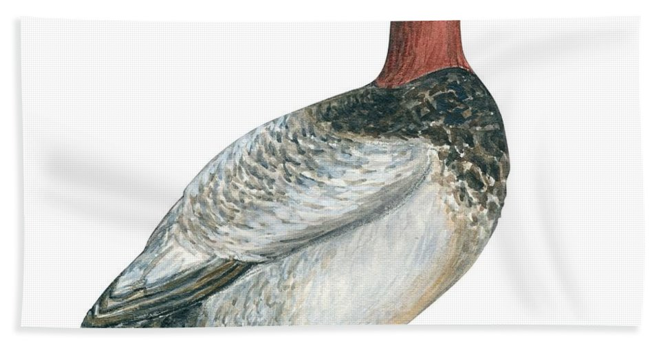 No People; Square Image; Side View; Full Length; White Background; One Animal; Wildlife; Close Up; Zoology; Illustration And Painting; Bird; Beak; Feather; Web; Animal Pattern; Canvasback Duck; Aythya Valisineria Beach Towel featuring the drawing Canvasback Duck by Anonymous