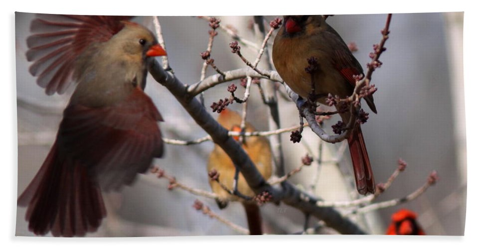 Christmas Beach Towel featuring the photograph Cardinal Colony by Travis Truelove