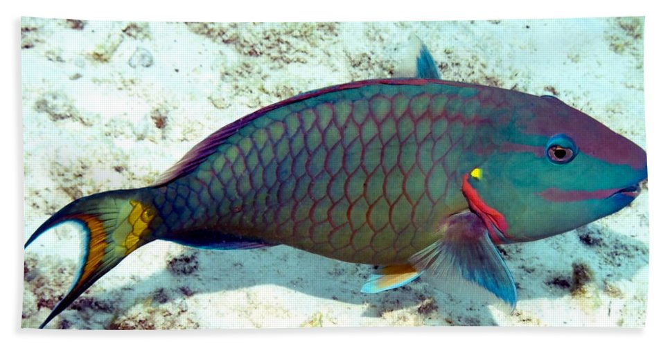 Nature Beach Towel featuring the photograph Caribbean Stoplight Parrot Fish In Rainbow Colors by Amy McDaniel