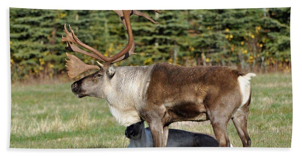 Alaska Beach Towel featuring the photograph Caribou by Clint Pickarsky