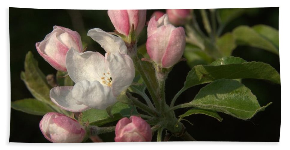 Blossom Beach Towel featuring the photograph Cascade Of Apple Blossoms by Valerie Kirkwood