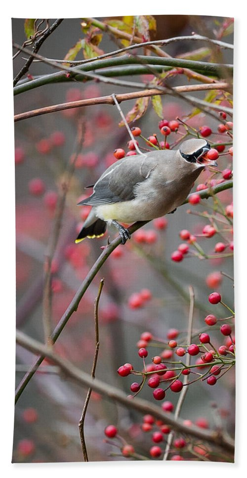 Autumn Beach Towel featuring the photograph Cedar Waxwing Feeding by Bill Wakeley