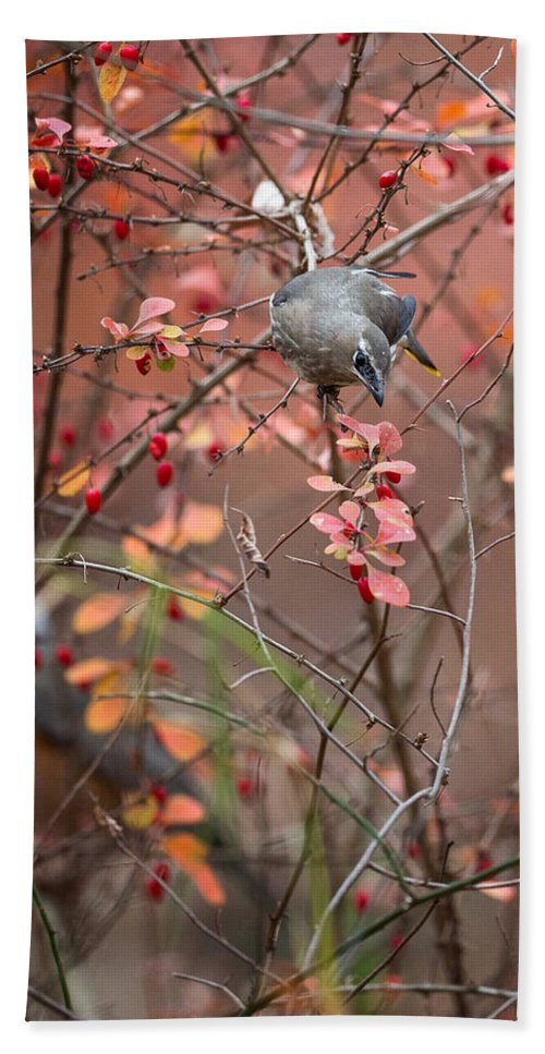 Cedar Waxwing Beach Towel featuring the photograph Cedar Waxwing Foraging by Bill Wakeley