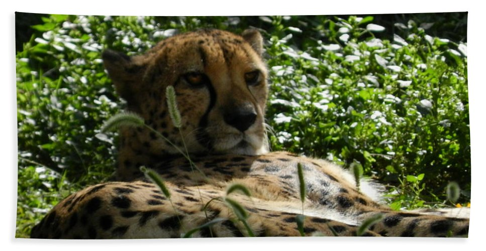 Cheetah Beach Towel featuring the photograph Cheetah 2 by Heather Jane