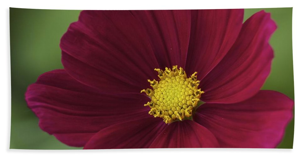 Flower Beach Towel featuring the photograph Cherry Petals by Penny Meyers