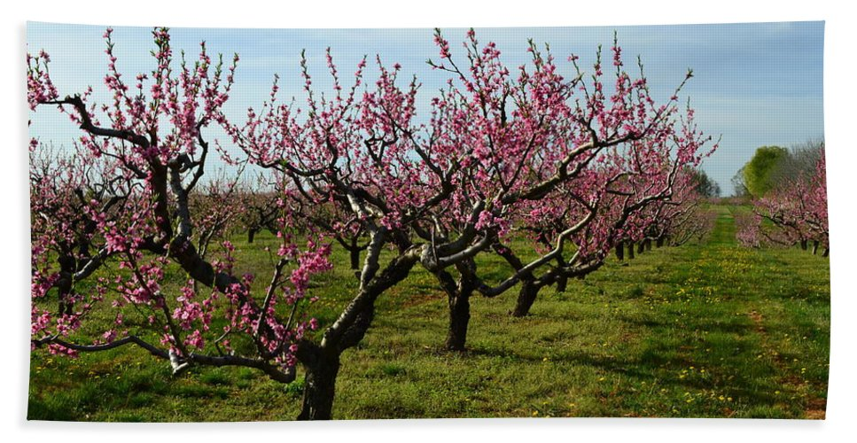 Cherries Beach Towel featuring the photograph Cherry Trees by Michelle Calkins