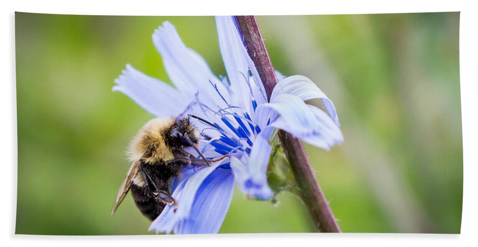 Bee Beach Towel featuring the photograph Chicory Bee by Bill Pevlor
