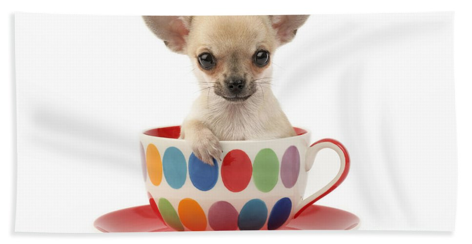 Chihuahua Beach Towel featuring the digital art Chihuahua In Cup Dp684 by MGL Meiklejohn Graphics Licensing