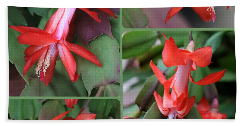 Christmas Cactus Beach Towel featuring the photograph Christmas Cactus Collage by Carol Groenen