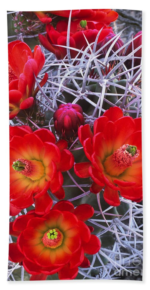 Claretcup Cactus Beach Towel featuring the photograph Claretcup Cactus In Bloom Wildflowers by Dave Welling