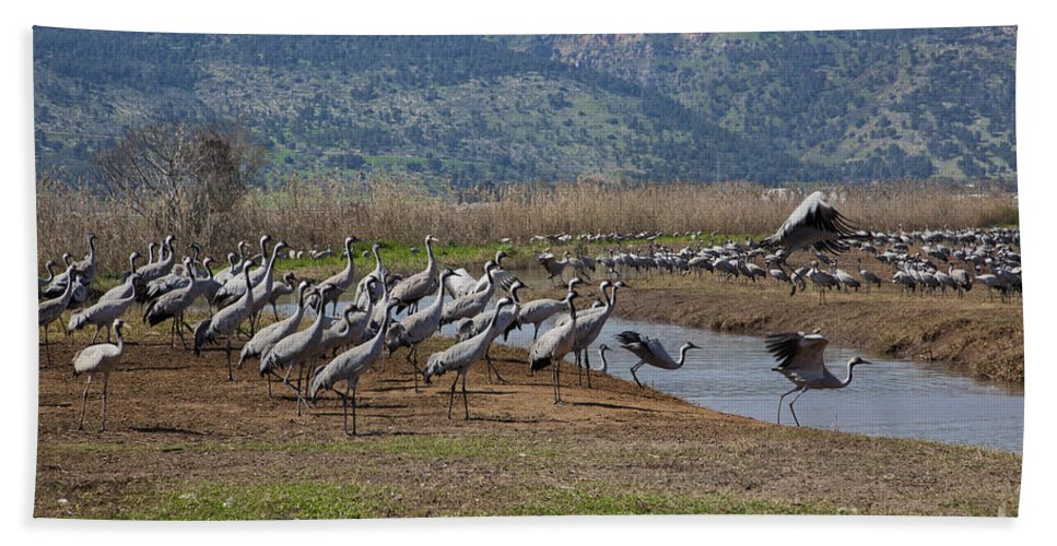 Migratory Beach Towel featuring the photograph Common Crane Grus Grus by Eyal Bartov