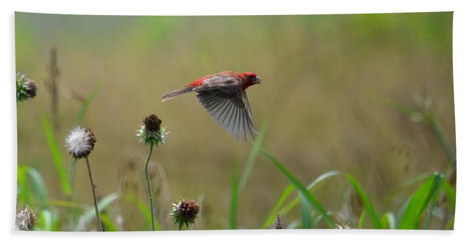 Common Redpoll In Flight Beach Towel featuring the photograph Common Redpoll In Flight by Maria Urso