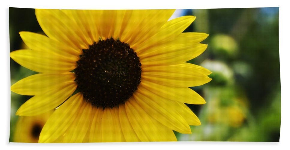 Kansas State Flower Beach Towel featuring the photograph Common Sunflower by Walter Herrit