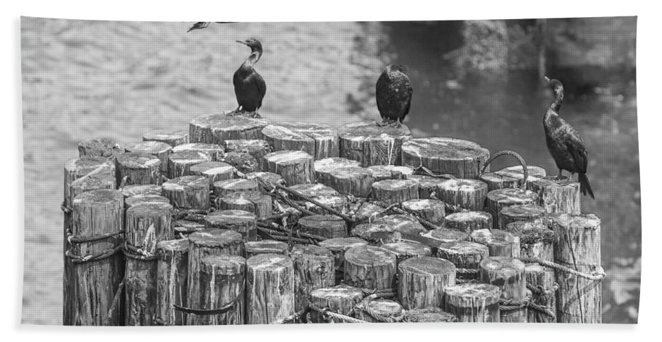 Black Beach Towel featuring the photograph Cormorant Landing Black And White by Scott Campbell