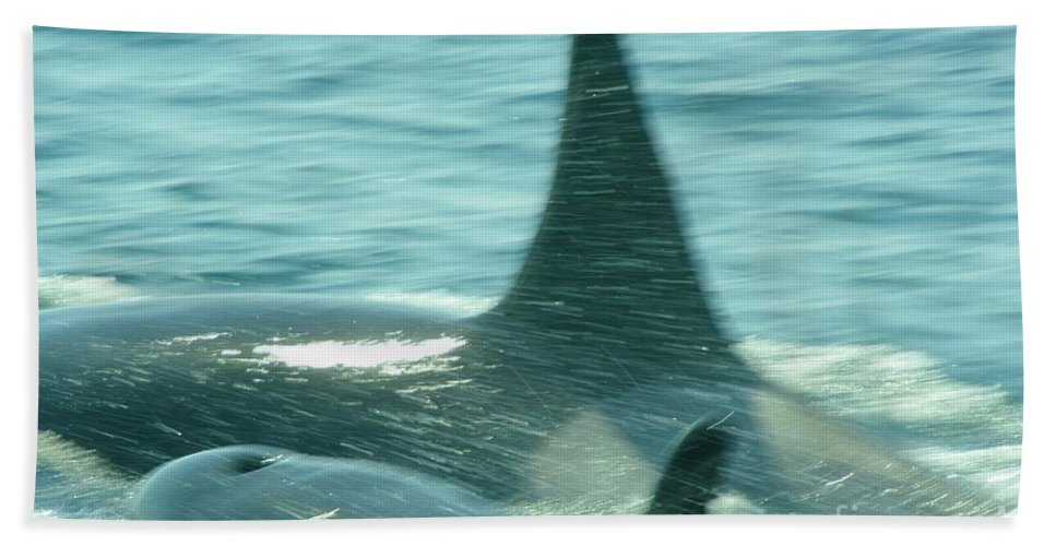 Orcas Beach Towel featuring the photograph Cow Orca And Her Calf by Jeff Swan