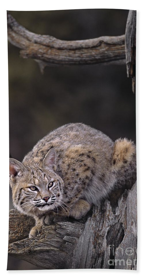 North America Beach Towel featuring the photograph Crouching Bobcat Montana Wildlife by Dave Welling