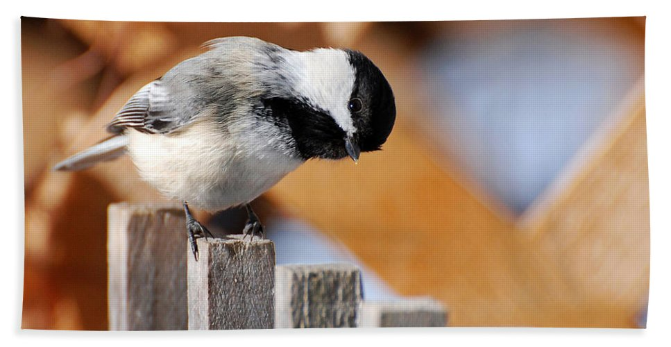 Bird Beach Towel featuring the photograph Curious Chickadee by Christina Rollo