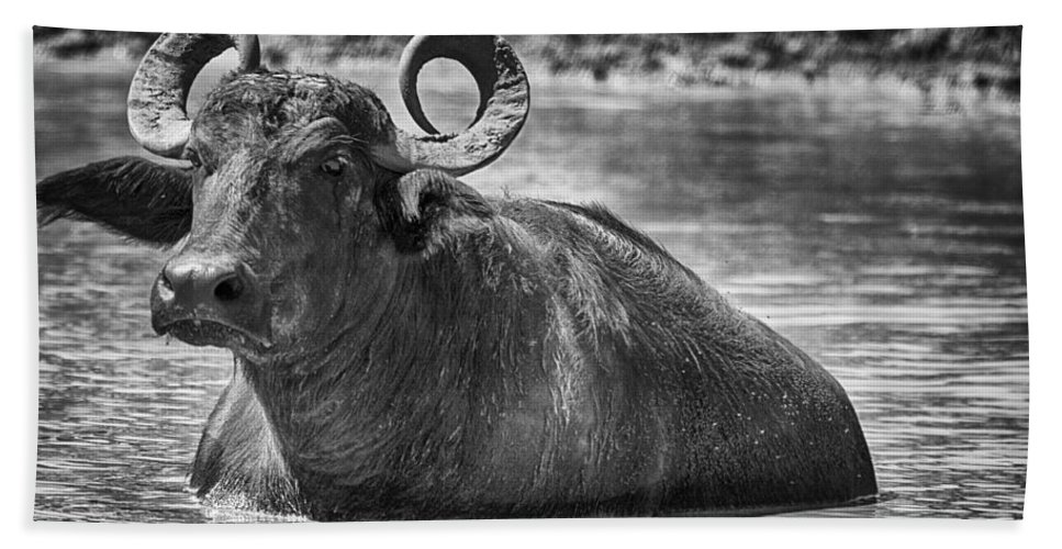 Water Buffalo Beach Towel featuring the photograph Curly Horns-black And White by Douglas Barnard