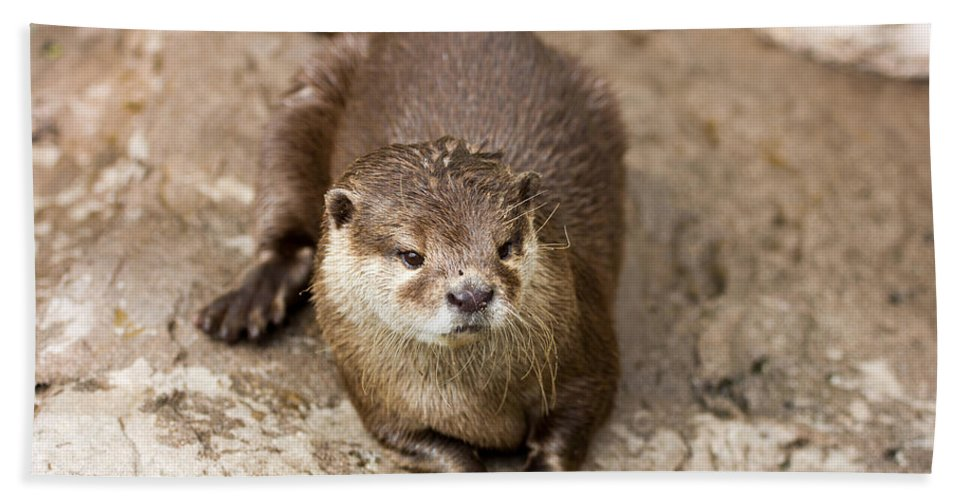 Otter Beach Towel featuring the photograph Cute Otter Portrait by Pati Photography