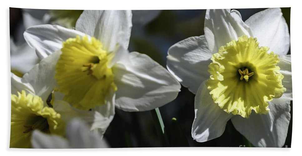 Spring Beach Towel featuring the photograph Daffodils by Elvis Vaughn
