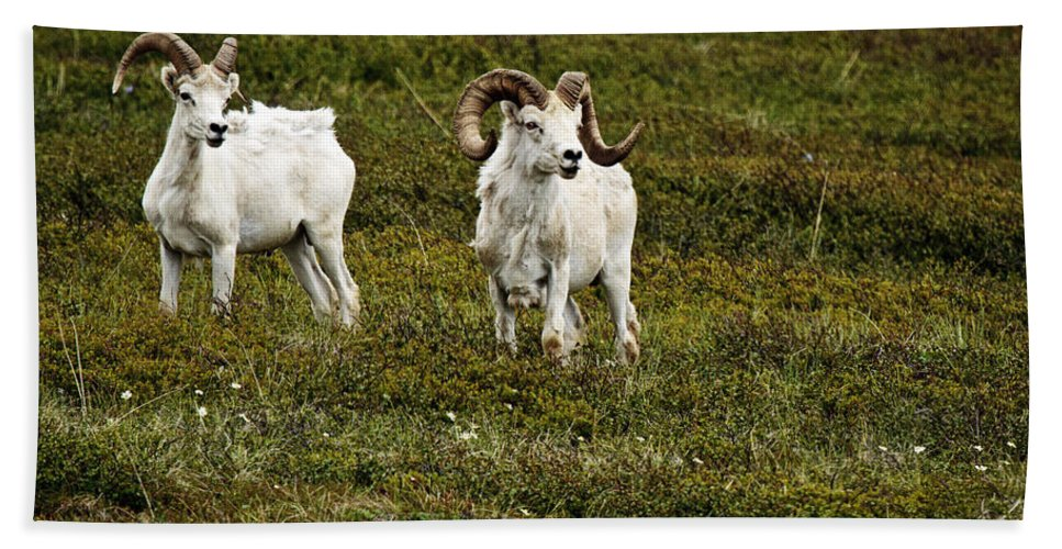 Dall Rams On Alert Beach Towel featuring the photograph Dall Rams On Alert by Wes and Dotty Weber