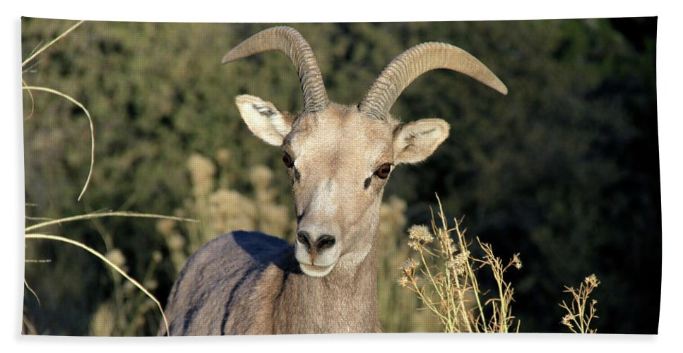 Mountains Beach Towel featuring the photograph Desert Bighorn Sheep Zion National Park by Ed Riche