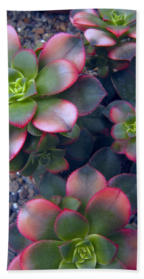 hens And Chicks Beach Towel featuring the photograph Desert Succulents by Daniel Hagerman