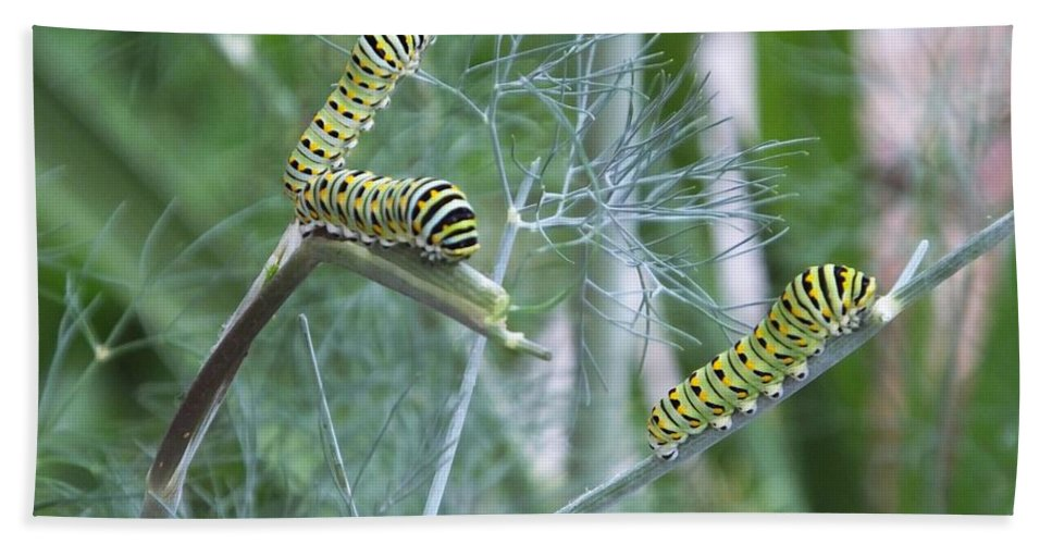 Dillweed Beach Towel featuring the photograph Dillweed And Caterpillars by Lizi Beard-Ward