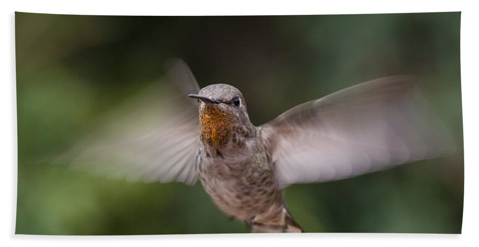 Annas Hummingbird Beach Towel featuring the photograph Dirty Chin by Mike Herdering