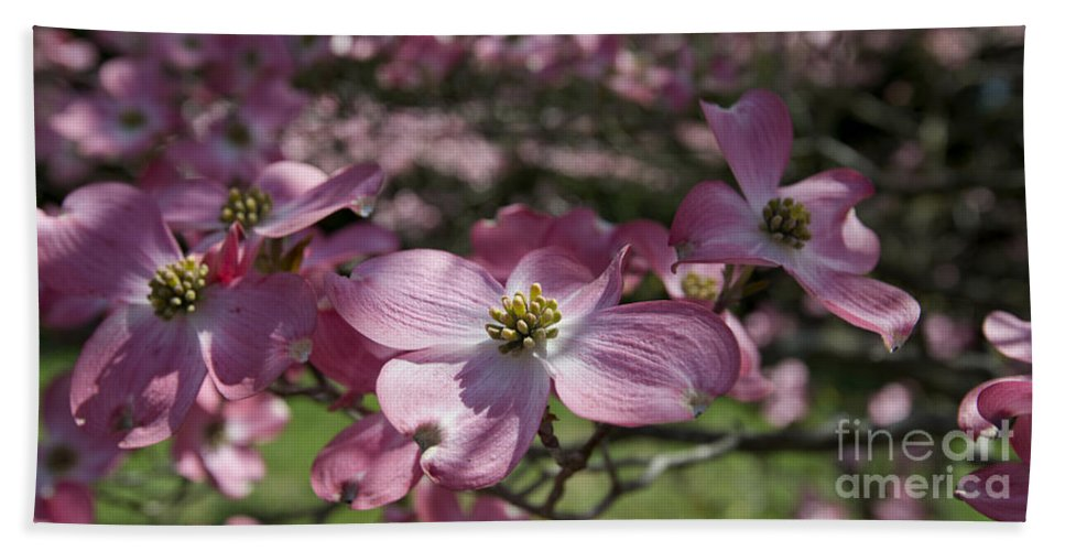 Spring Flowers Beach Towel featuring the photograph Dogwood 5576 by Terri Winkler