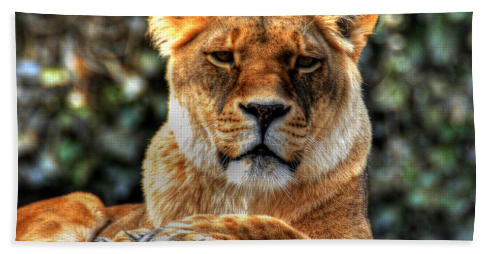 Lion Beach Towel featuring the photograph Don't Blink... by Michael Frank Jr