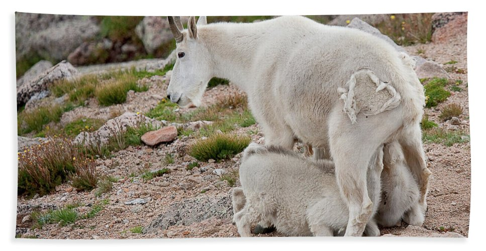 Mountain Goats Beach Towel featuring the photograph Double The Fun by Jim Garrison