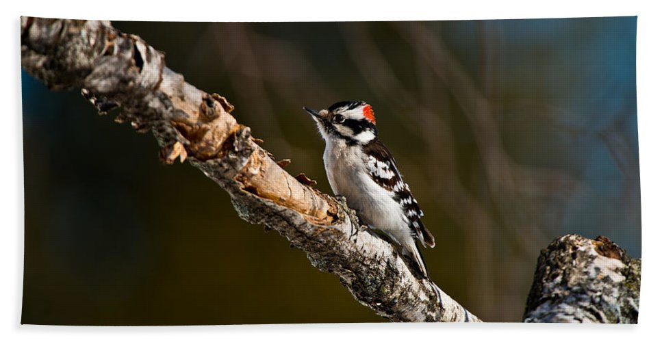 Downy Woodpecker Beach Towel featuring the photograph Downy Woodpecker Pictures 36 by World Wildlife Photography