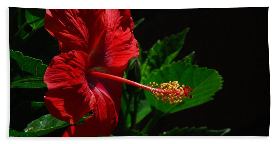 Red Beach Towel featuring the photograph Dramatic Red Hibiscus by Lynn Bauer