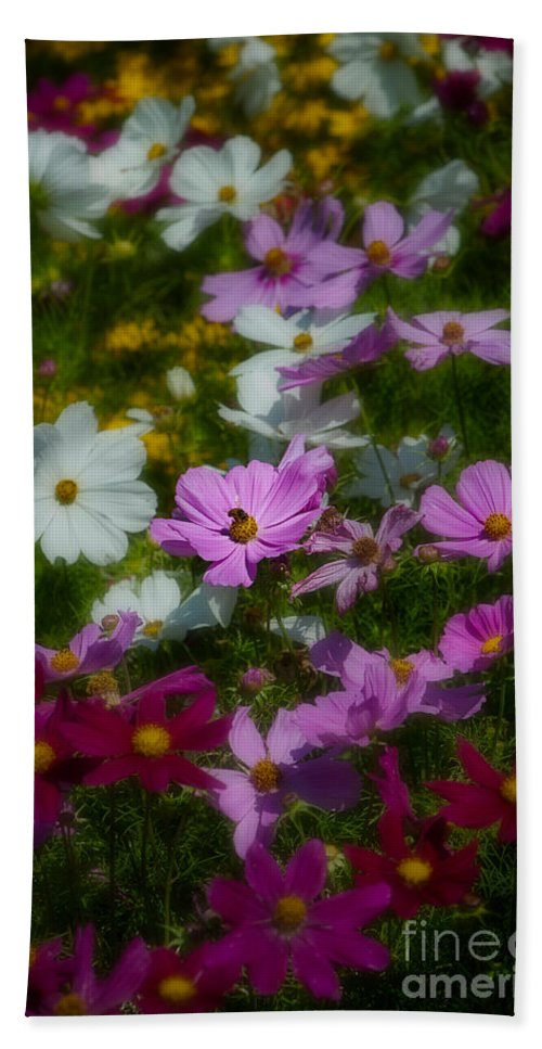 Asteraceae Family Beach Towel featuring the photograph Dreamy Cosmos by Venetta Archer