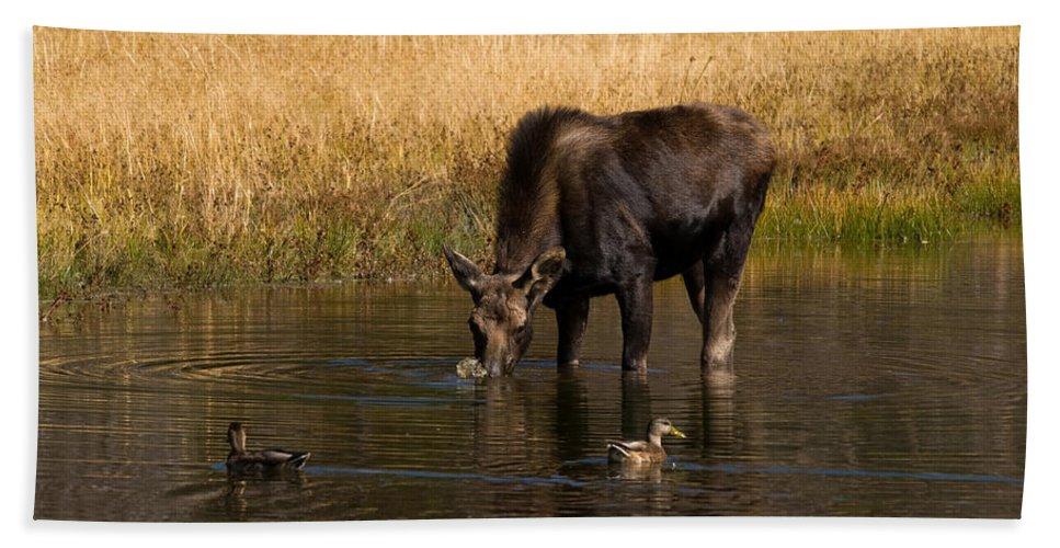 Tetons Beach Towel featuring the photograph Duck Duck Moose by Steve Stuller