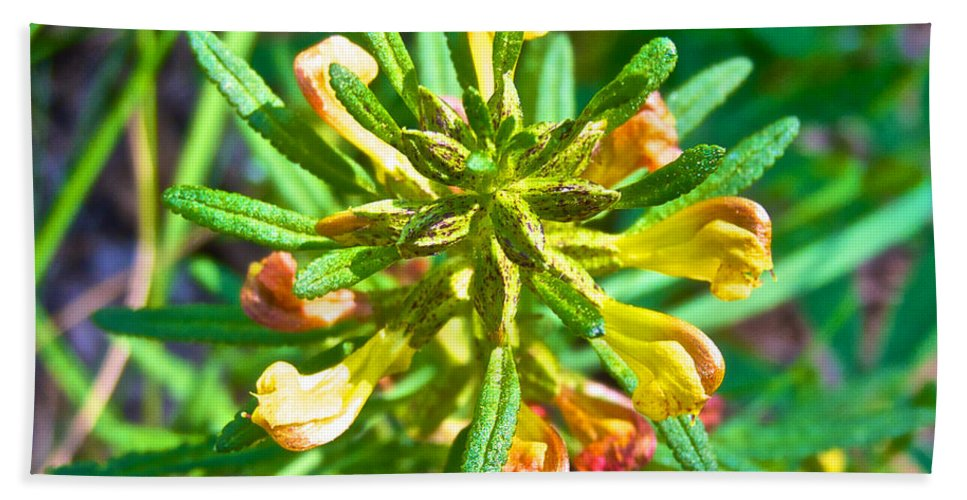 Dwarf Lousewort On Miles Canyon Trail To Canyon City Beach Towel featuring the photograph Dwarf Lousewort On Miles Canyon Trail To Canyon City Near Whitehorse-yk by Ruth Hager