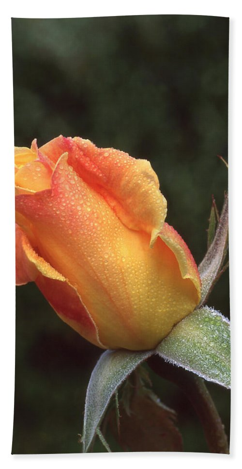 Flowers Beach Towel featuring the photograph Early Morning Rosebud by Ginny Barklow