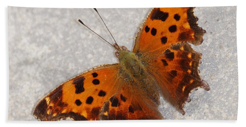 Butterfly Beach Towel featuring the photograph Eastern Comma Butterfly by Lori Tordsen