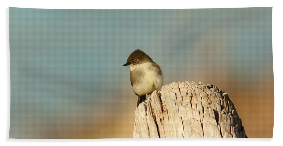 Animal Beach Towel featuring the photograph Eastern Phoebe by Robert Frederick