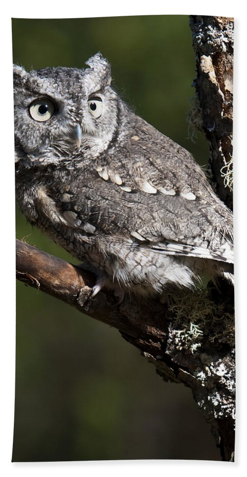 Eastern Screech Owl Beach Towel featuring the photograph Eastern Screech-owl Otus Asio by Paul Cannon