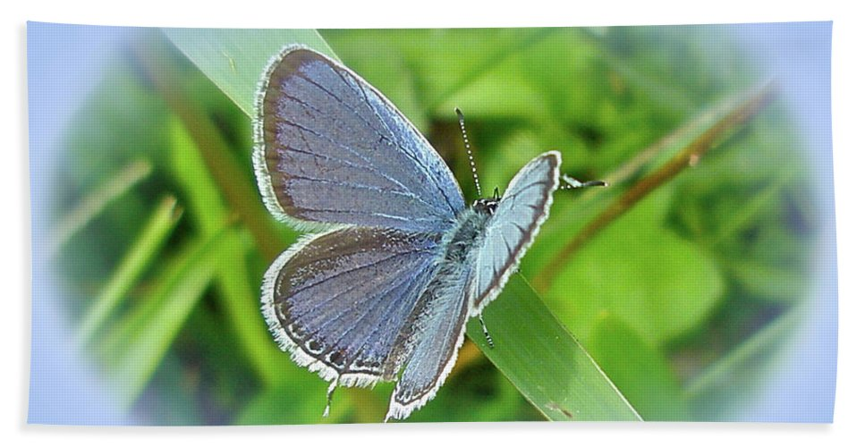 Butterfly Beach Towel featuring the photograph Eastern-tailed Blue Butterfly - Cupido Comyntas by Mother Nature