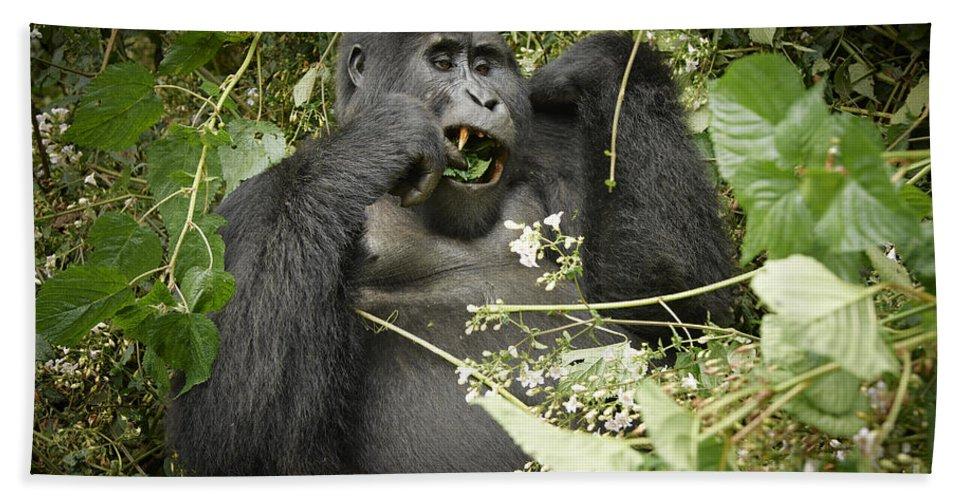 Mountain Gorilla Beach Towel featuring the photograph Eating Mountain Gorilla by Juergen Ritterbach