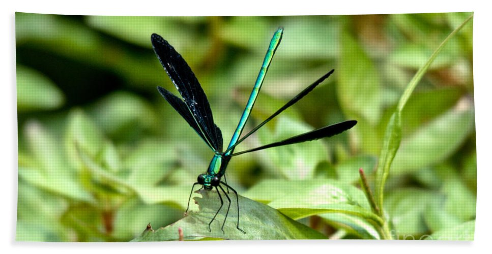 Ebony Jewelwing Beach Towel featuring the photograph Ebony Jewelwing by Cheryl Baxter