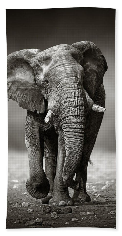 Elephant Beach Towel featuring the photograph Elephant Approach From The Front by Johan Swanepoel