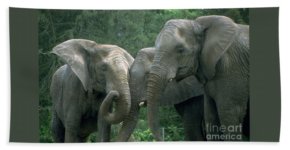 Elaphant Beach Towel featuring the photograph Elephant Ladies by Gary Gingrich Galleries