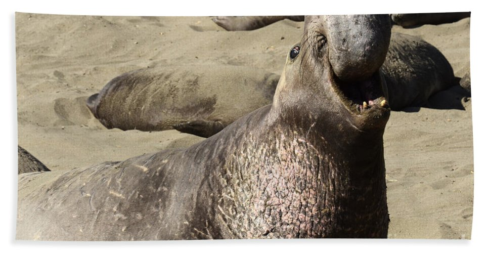 California Beach Towel featuring the photograph Elephant Seal by Bob Christopher