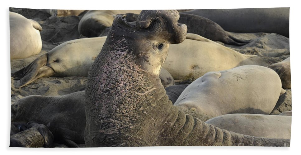 California Beach Towel featuring the photograph Elephant Seals by Bob Christopher